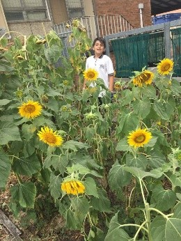 A student in our sunflower garden.